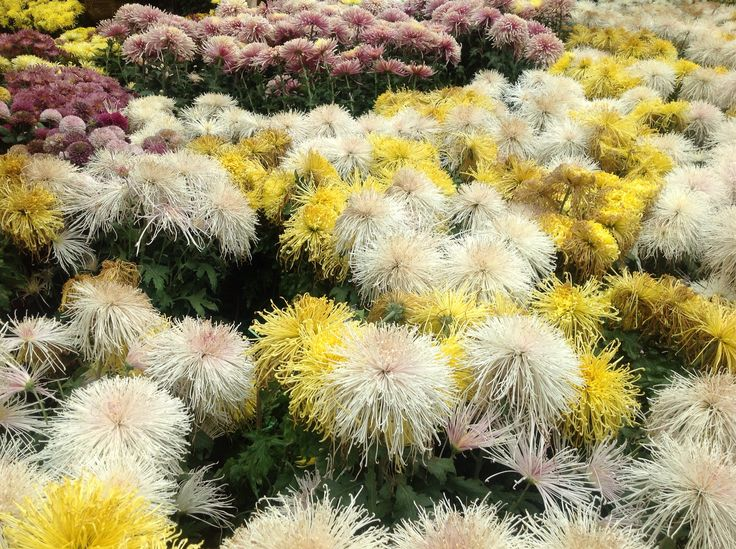 A Celebration of Chrysanthemums at the Gardens by the Bay, Singapore.