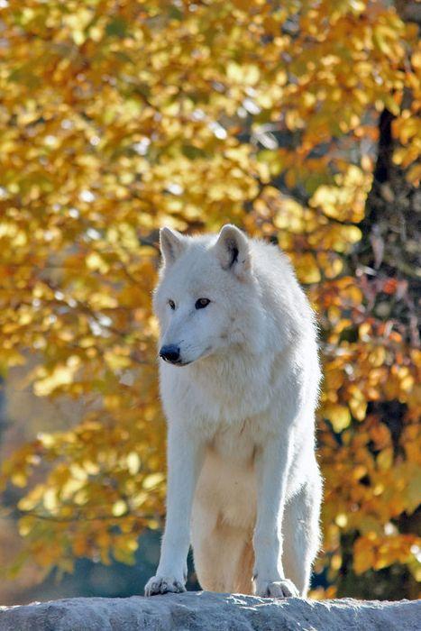 Loup arctique dans le parc de Sainte-Croix, en Moselle / Source : Communauté photo GEO, © Christian Frisquet