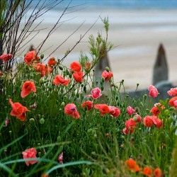Garden by the sea - poppies