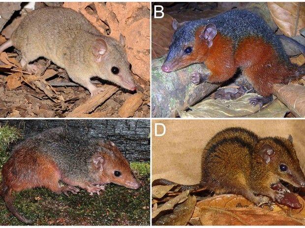 Descobertos 04 Novas Espécies de Mamíferos no #Brasil - Programa Território Animal