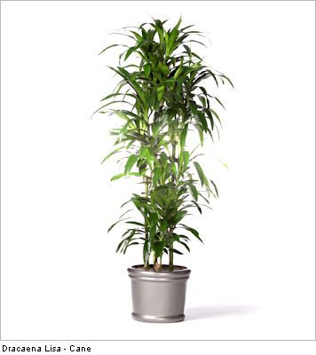 5 Tall Indoor Plants   Draceana Lisa Cane Http://www.ambius.