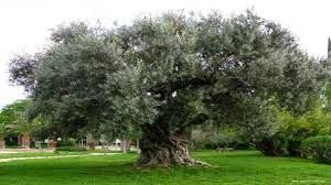 Medicinal Plants and Their Uses │Olive Trees