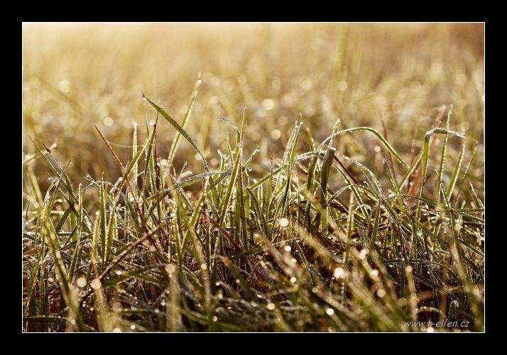 Ranní rosa - In the grass
