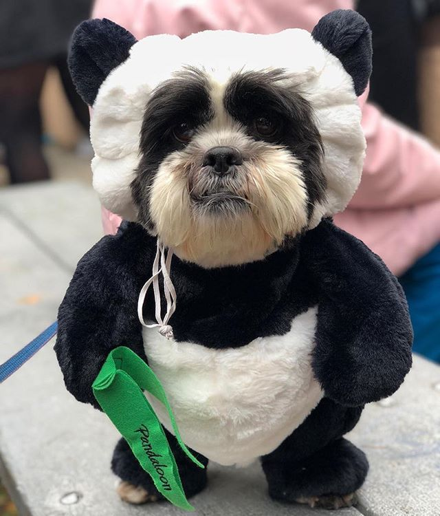 Bernie Is A Cute Fluffy Panda Dog Shih Tzus Seem Like Little