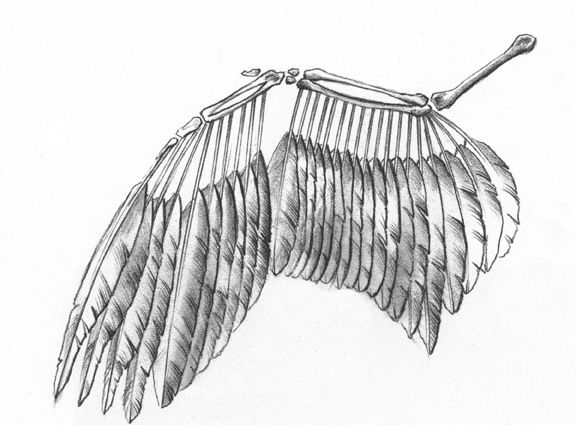 bird wings anatomy - 576×425