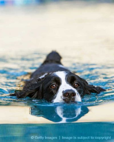 English Springer Spaniel Swimming in Pool