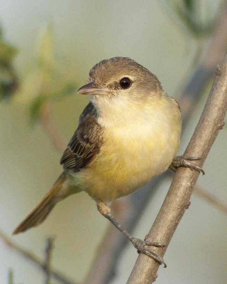 The Bell's Vireo (Vireo bellii)[2] is a small North American songbird.
