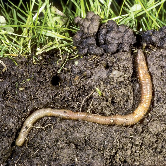 """The Benefits of Earthworms and How to Attract Them"" Joel Salatin is in awe of the benefits of earthworms and worm castings on Polyface Farms, where the hard-working critters boost soil health and increase farm productivity. He offers tips on how to attract earthworms to your farm or homestead. From MOTHER EARTH NEWS"