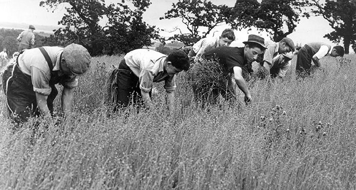 Merchant-and-Makers-Irish-Linen-31-Chapel-Lane-9-Flax-harvesting--1957