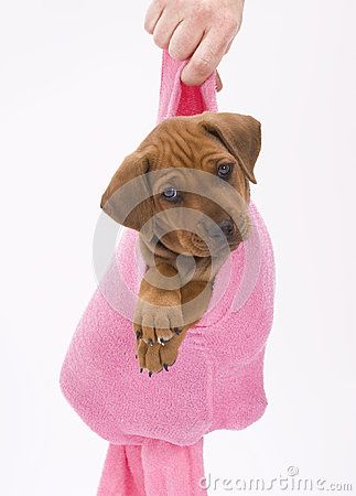 An adorable Rhodesian Ridgeback puppy hanging in a pink sock.