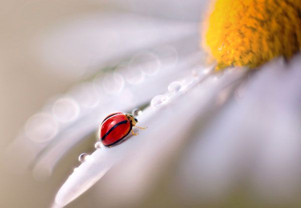 Malaysian photographer Pei Ling lives and works in Tanzania where she picked up a camera for the first time just three years ago. Among her quickly growing body of work are these macro photographs of insects that look almost like paintings due to her use of a focus technique known as bokeh.: Macros, Macrophotography, Nature, Macro Photography, Ladybugs, Insects, Lady Bugs