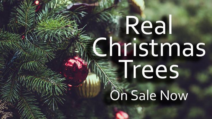 Real Christmas trees on sale at our Brunel Rooms Garden Centre and Cirencester store now