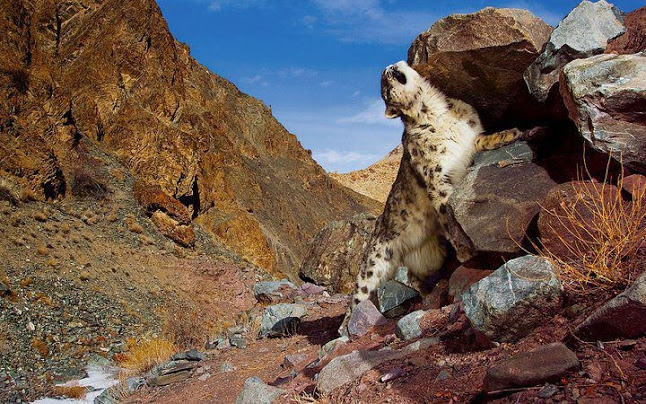Snow Leopard in Chitral Gol National Park, Pakistan