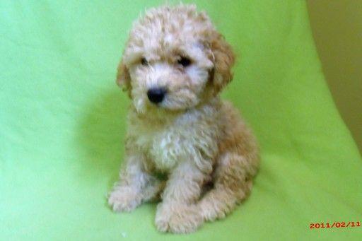 Zuchon puppy for sale in PATERSON, NJ. ADN-20544 on PuppyFinder.com Gender: Male. Age: 4 Months Old