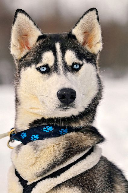Portrait of a serious but beautiful husky by Tambako the Jaguar, via Flickr