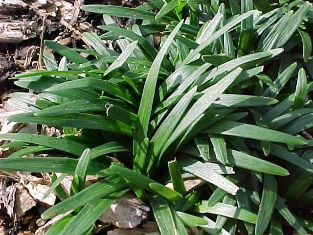 Ophiopogon japonicus Gyoku-ryu