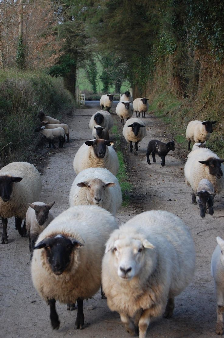Wooly Lambs
