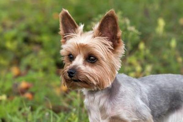 What Is The Difference Between A Yorkie A Silky Terrier