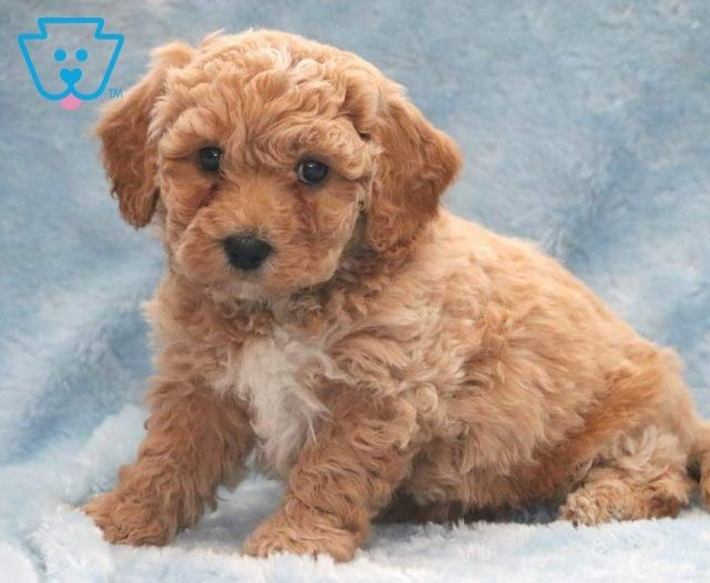 Butterball Cute Baby Puppies Poochon Puppies Puppies