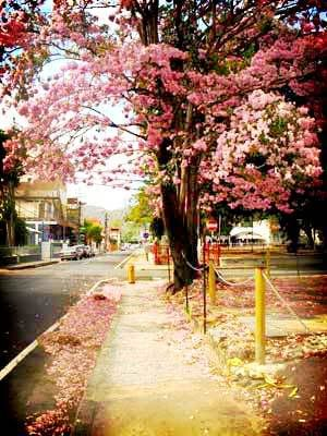 Poui Tree in bloom on Abercromby Street, Port of Spain, Trinidad.