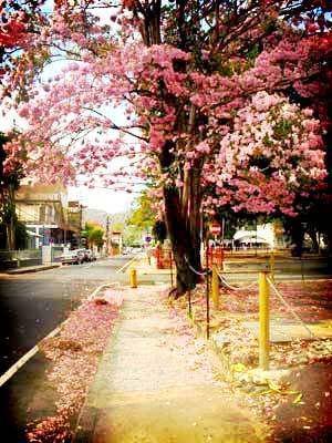 Poui Tree in bloom on Abercromby Street, Port of Spain, Trinidad.