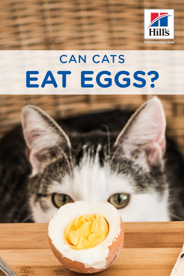 Can Cats Eat Eggs Hill S Pet Wellness Cat Food How To Cook Eggs Cat Nutrition