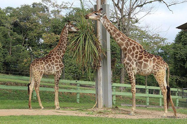 Girafas do Zoológico de Pomerode (SC)                                                                                                                                                      Mais