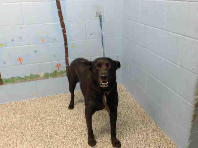 Labrador Retriever dog for Adoption in San Bernardino, CA. ADN-420802 on PuppyFinder.com Gender: Male. Age: Senior