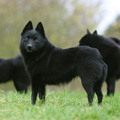 Schipperke... Protective and agile, curious and fearless. Schipperkes are continuously wanting to be exercised and won't be the kind of dog to lay on the couch all day. They want to participate in family activities and love children, but keep an eye on them at all times because you never know if they will accidentally knock one over. Active families will adore these dogs, and they will adore them back!