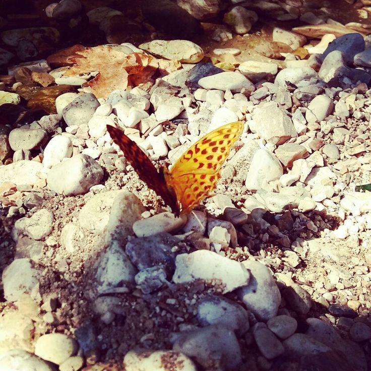 Leopard butterfly