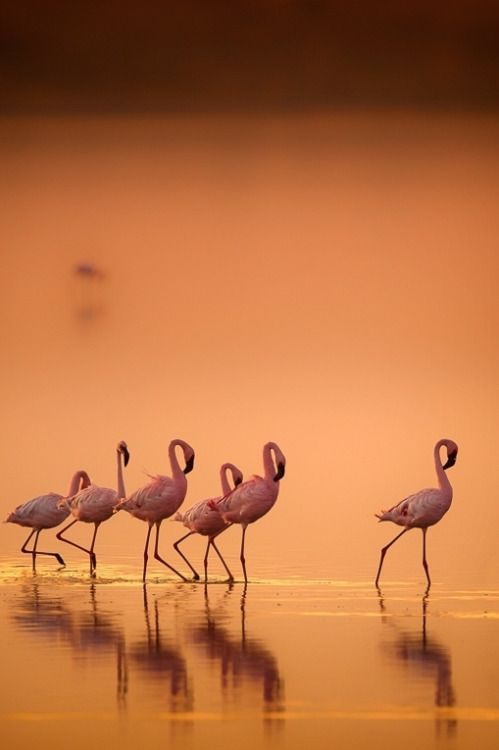 heaven-ly-mind: Flamingo's in gold by Wim van den Heever on 500px
