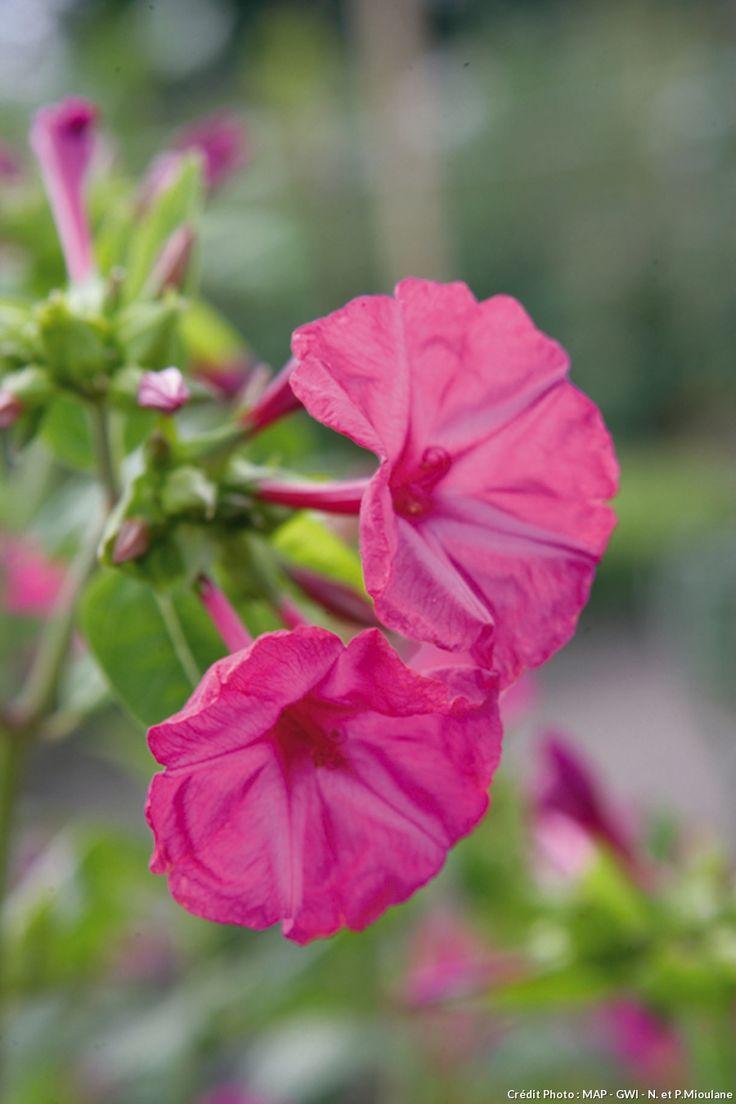 Belle de nuit (Mirabilis jalapa)  Cette superbe annuelle se multiplie à la fois par ses graines et par ses racines tubéreuses épaisses. Elle fait partie des plantes qui peuvent rester 15 jours sans être arrosées. Elle ouvre ses fleurs en fin d'après-midi et les referme en fin de nuit. Elle dégage en outre un merveilleux parfum.