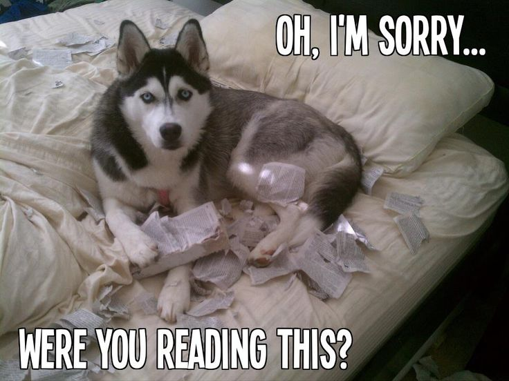 oops #husky #dog #damage