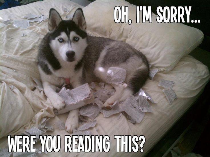 oops #husky #dog #damage
