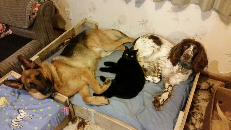 1 bed fits all!  Dash the German Shepherd, Button the cat and Mintie the springer!