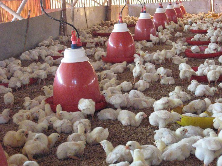Cara Bertenak Ayam, Beternak Ayam Potong, Budidaya Ayam Kampung, beternak ayam cepat panen, ayam merupakan makanan konsumsi yang sering kita cicipi setiap ha...