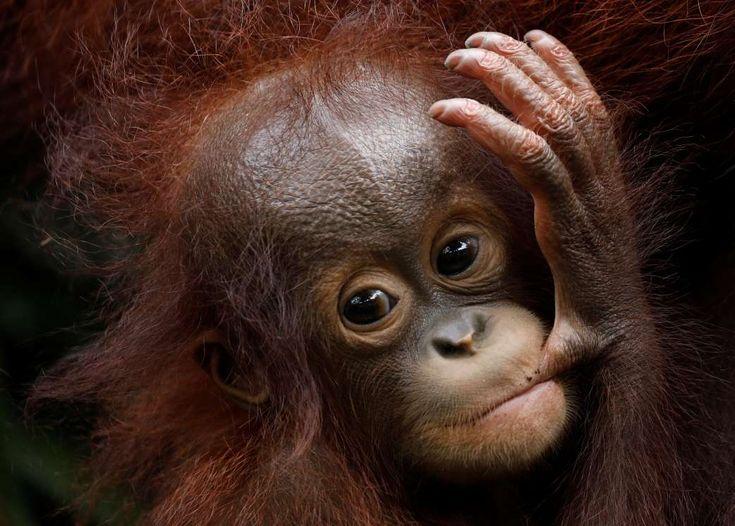 Khansa, the Singapore Zoo's 46th orangutan baby, clings to its mother Anita during a media tour. - REUTERS/Edgar Su
