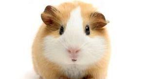 Happy Birthday! - Funny Birthday Songs (Gary The Guinea Pig) August 6