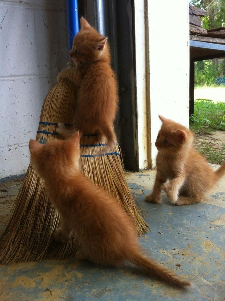 ginger kittes tackling a broom