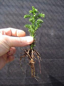 Young bonsai seedling