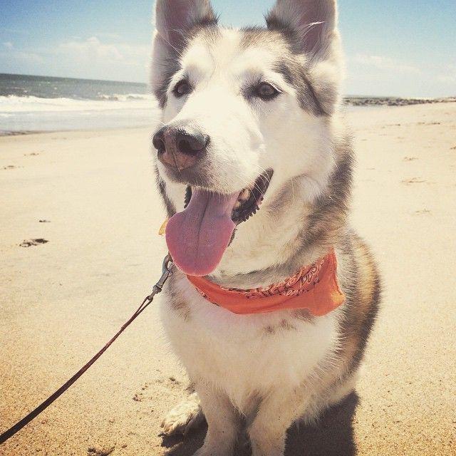 #husky #corgi #huskycorgi #horgi #cyborgi #model #fashionweek #charleston #cute #dog #mika #dogsofinstagram #puppy #mikagram