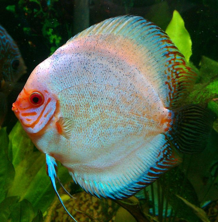 Sugarbritches, my Discus fish
