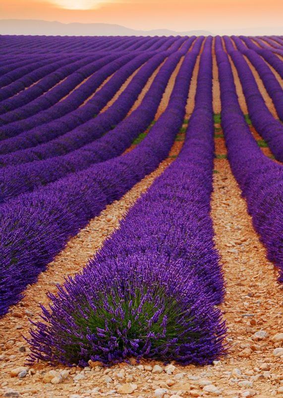 Lavender Fields, Valensole, Provence-Alpes-Côte d'Azur