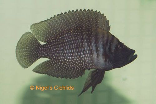 17 best images about tanganyika cichlids on pinterest for Lake tanganyika fish