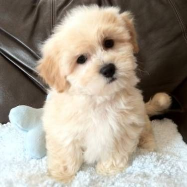 shih tzu bichon frise mix....awww this has gotta be the cutest puppy EVER!!!
