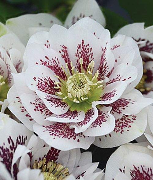Hellebores are one of those rare flowers that love the shade. These beauties bloom in late winter or early spring, and provide a pop of color to an otherwise monotone green shade garden. - The Handyman's Daughter