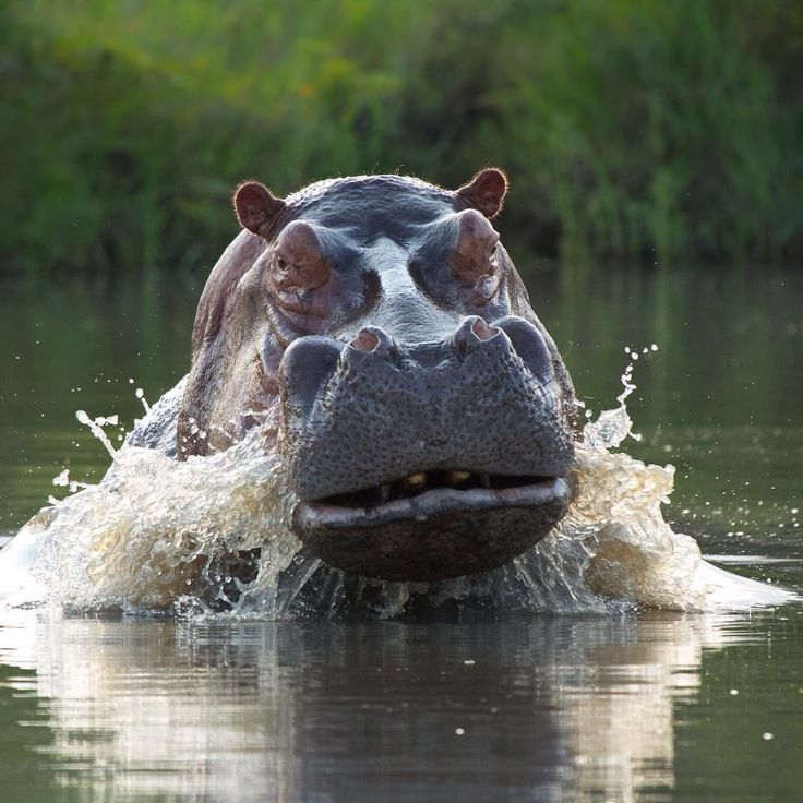 """What lies beneath""  This large hippo just making sure we know who's boss! #krugernationalpark #oursingita #hippo #charge"