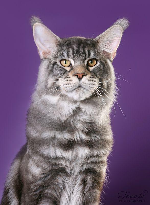 407 best maine coon, norwegian forest cat, siberian ...