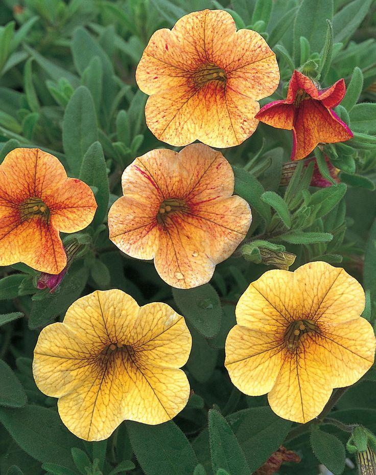 Proven Winners Million Bells Terra Cotta http://www.provenwinners.com/plants/calibrachoa/million-bells-terra-cotta-calibrachoa-hybrid