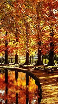 Three gorgeous orange-gold autumn trees reflected in a small pond